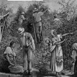 تاریخچه پیدایش قهوه