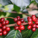 آشنایی با انواع قهوه