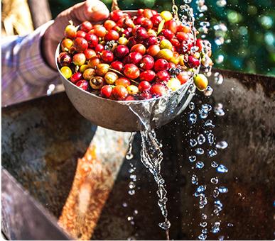تفاوت بین فرآوری قهوه تر ، خشک و نیمه تر