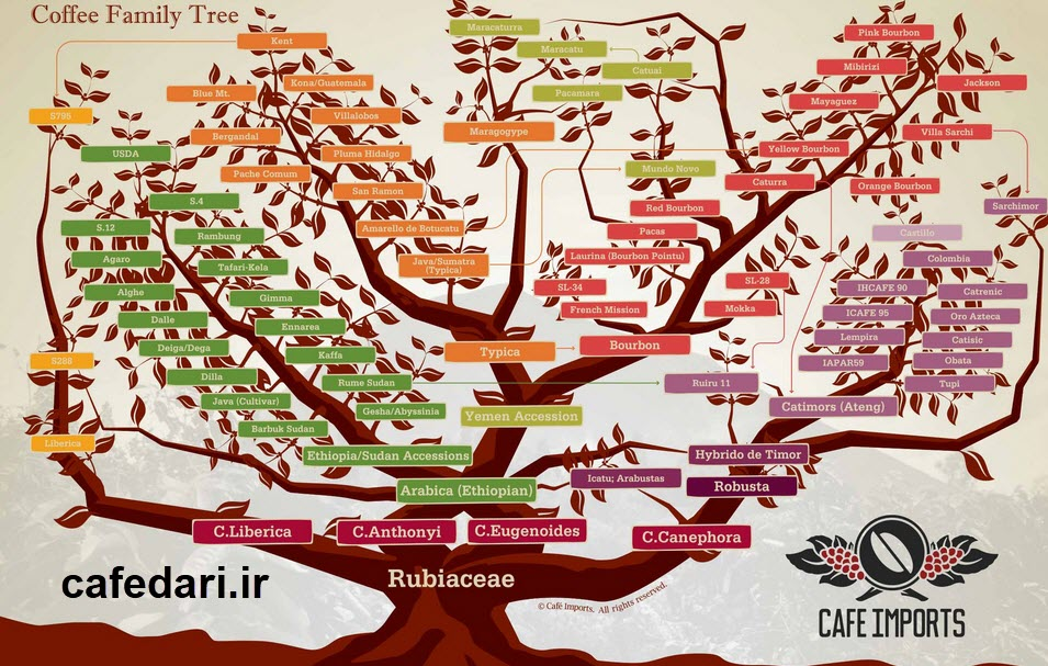 درخت خانواده قهوه